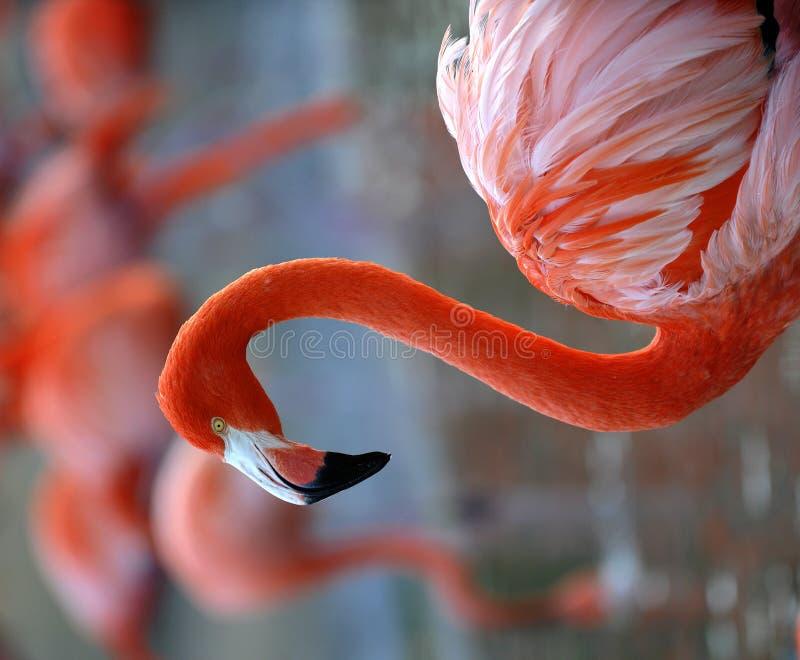 Portrait of a flamingo. stock photography
