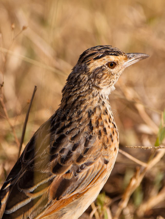 Download Portrait Of The Flappet Lark Stock Photo - Image: 24140750