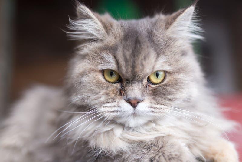 Portrait of fluffy cat stock photos
