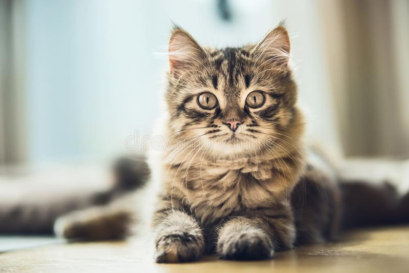Portrait of a fluffy Siberian kitten with a beautiful fur coat royalty free stock photo