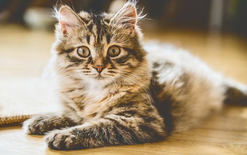 Portrait of a fluffy Siberian kitten on the floor royalty free stock photography