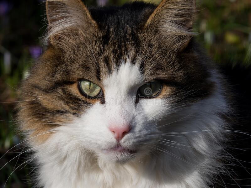 Portrait of a fluffy tabby tom cat. Outside stock photo