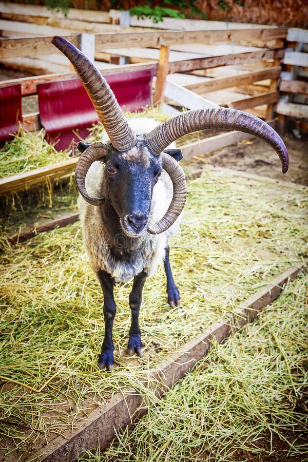The portrait of four-horned goat stock photo