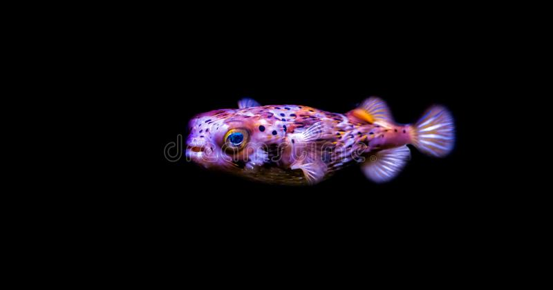 Portrait of a freckled porcupine fish isolated on a black background. A portrait of a freckled porcupine fish isolated on a black background stock photos