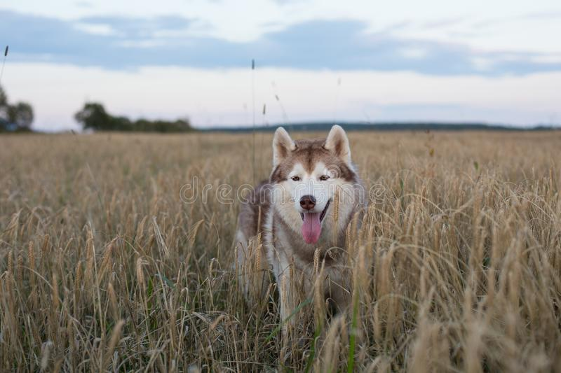 Portrait of free and cute siberian husky dog with brown eyes standing in the rye at sunset stock photos