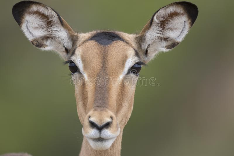 Portrait of free female impala antelope stock photos