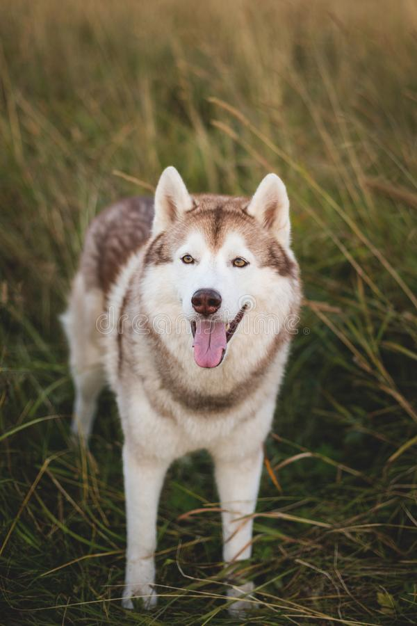 Portrait of free siberian husky dog with brown eyes standing in the rye at sunset stock images