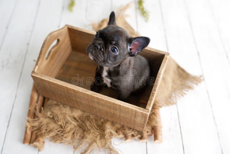 Portrait of French bulldog, frenchies puppy. Portrait of French bulldog, frenchie, adorable dog in a wooden box royalty free illustration