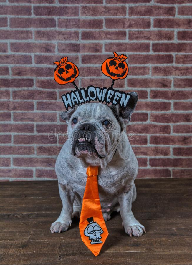 Portrait of french bulldog with Halloween props. royalty free stock images