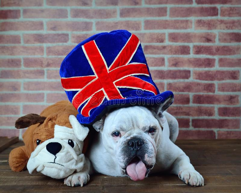 Portrait of French bulldog hat with the flag of the united kingdom royalty free stock image