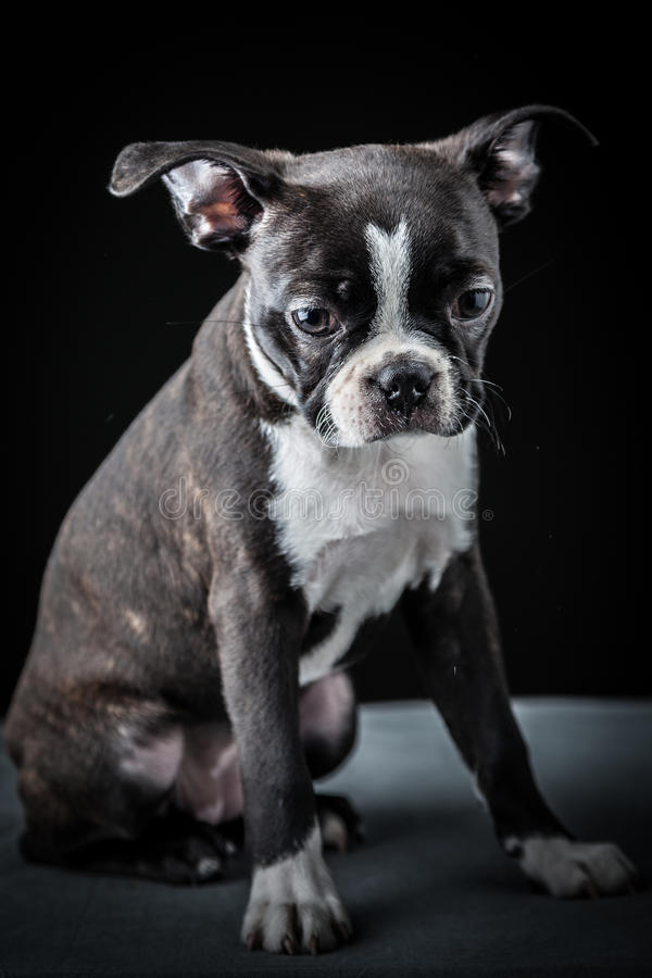Download French Bulldog stock image. Image of portrait, studio - 29791919