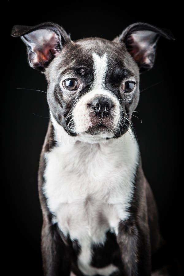 Download French Bulldog stock image. Image of portrait, pedigreed - 29791969