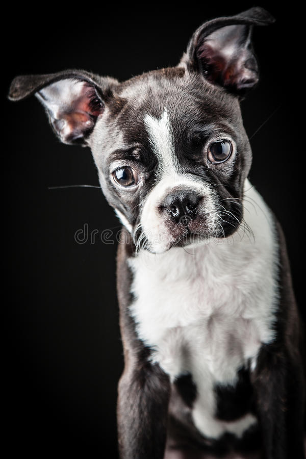 Download French Bulldog stock image. Image of breed, mascot, french - 29791997