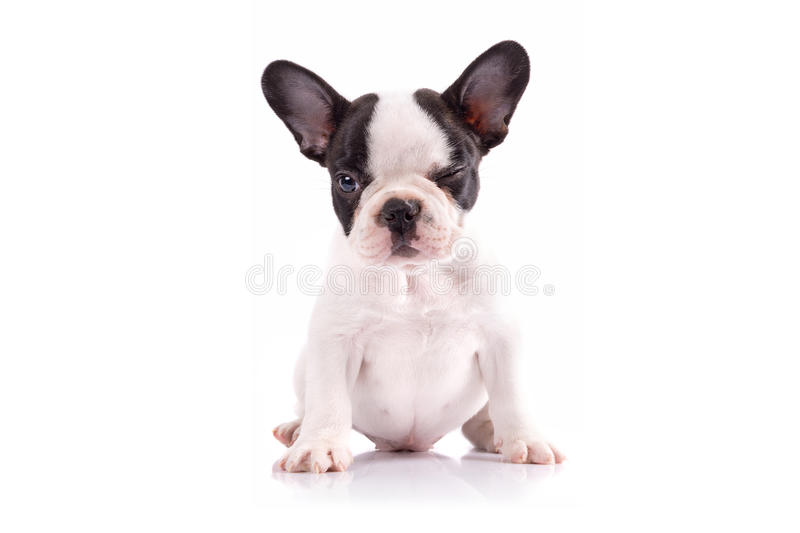 Download Portrait Of French Bulldog Puppy Stock Image - Image: 30916901