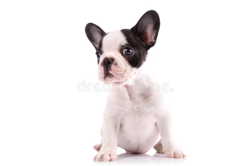 Download Portrait Of French Bulldog Puppy Stock Photos - Image: 30916903