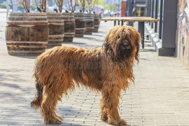 French shepherd shepherd briard walking on the paved paths of the city pavement. Portrait of a French shaggy brown shepherd dog Briar of brown color on the stock images