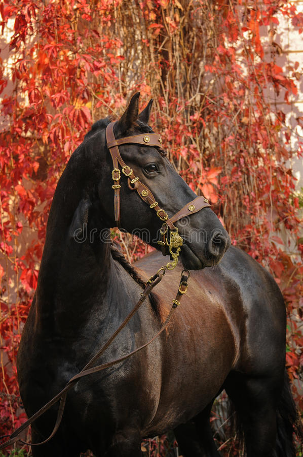 Portrait of friesian horse. Friesian horse, autumn, beautiful portrait royalty free stock image