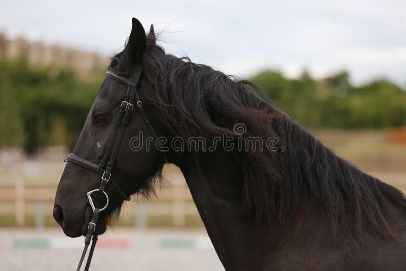 Portrait of a friesian horse on natural background outdoors royalty free stock image