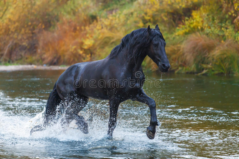 Portrait of a friesian horse. Portrait of a friesian horse running in autumn landscape royalty free stock image