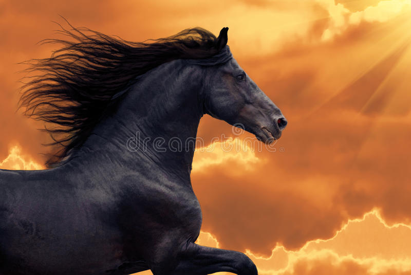 Portrait of frisian horse runs gallop in sunset stock photos