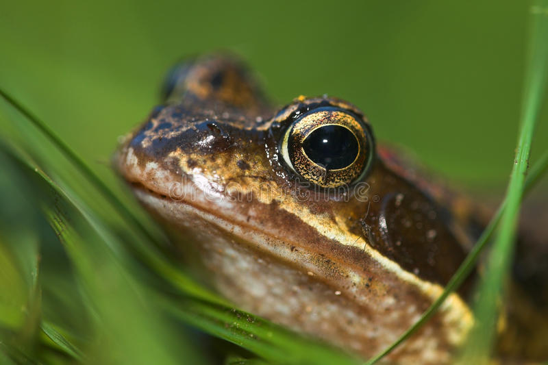 Portrait of a frog stock image