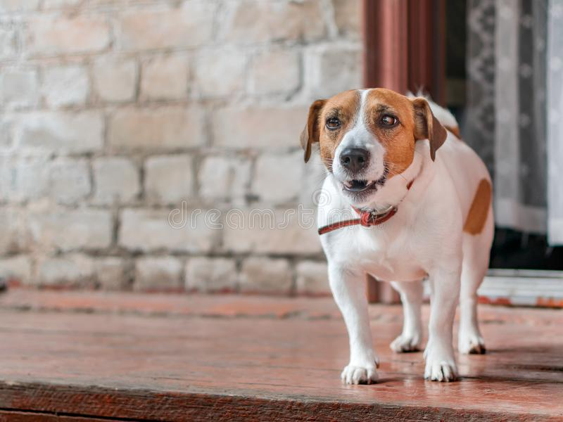 Portrait of front of cute small dog jack russel terrier standing outside on wooden porch of old brick house next to open. Door at summer sunny day. Pet stock photos