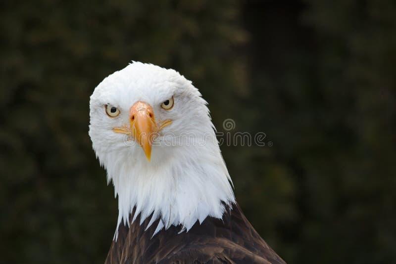 Portrait frontal d'un aigle chauve photographie stock