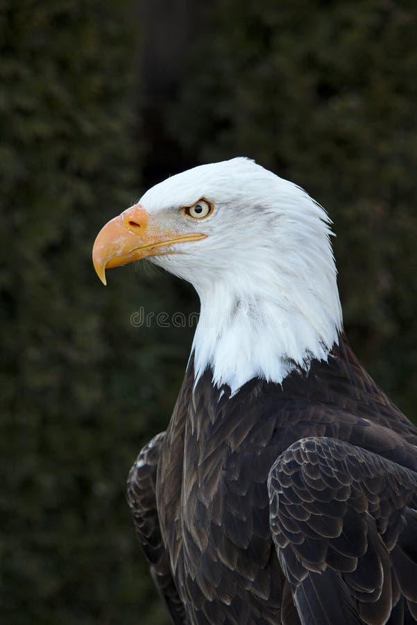 Portrait frontal d'un aigle chauve adulte images stock