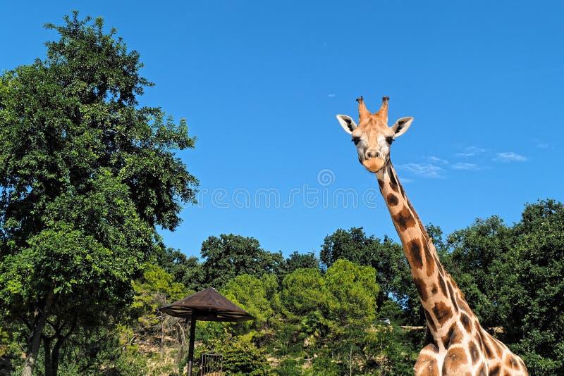Portrait frontal de girafe regardant le plan rapproché image libre de droits