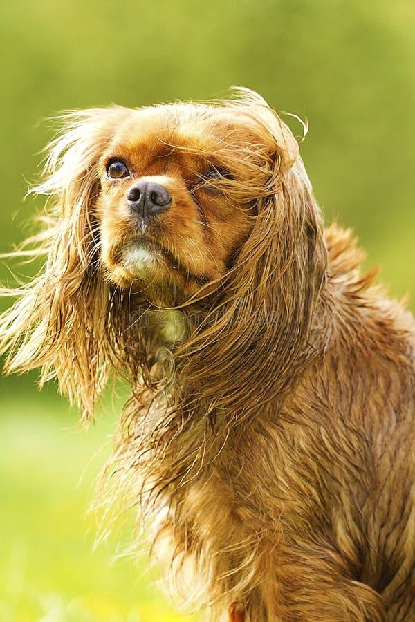 Portrait of a fun cavalier king charles spaniel stock photos