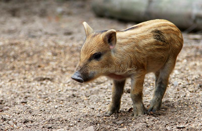 Portrait of funny baby pig, Central European wild boar stock photography