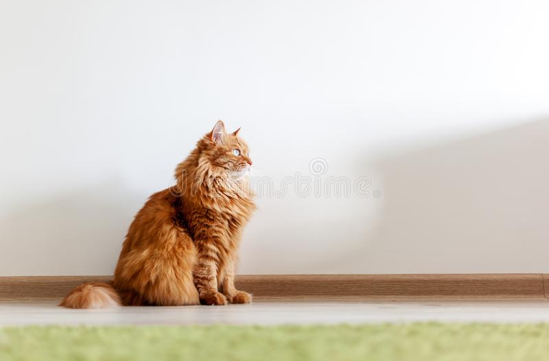 Portrait of a funny beautiful red fluffy cat with green eyes in stock photography