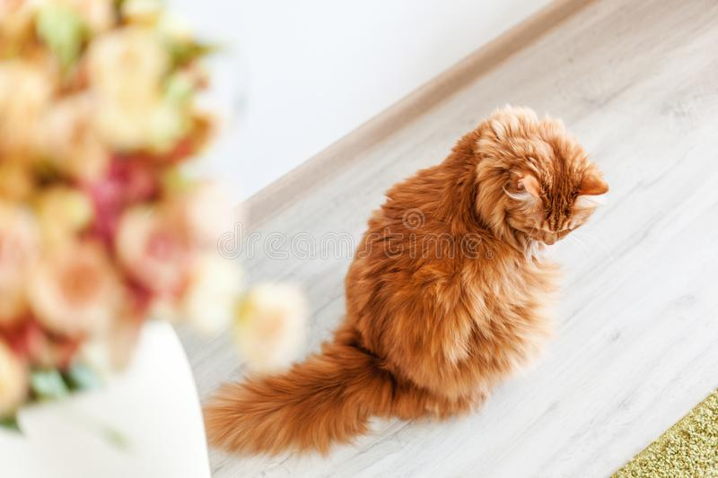 Portrait of a funny beautiful red fluffy cat with green eyes in royalty free stock photography