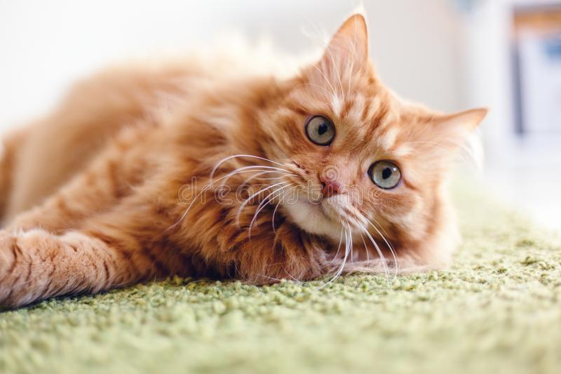 Portrait of a funny beautiful red fluffy cat with green eyes in royalty free stock photos