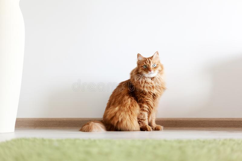 Portrait of a funny beautiful red fluffy cat with green eyes in stock photos