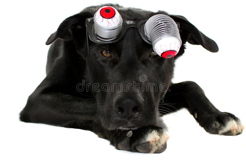 PORTRAIT OF A FUNNY BLACK DOG WEARING ZOMBIE BLOODSHOT EYES GLASSES FOR A HALLOWEEN PARTY. ISOLATED AGAINST WHITE BACKGROUND stock image