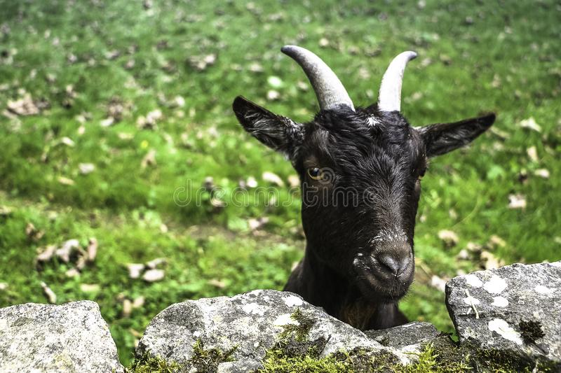 Portrait of a funny black goat behind a stone wall royalty free stock photo