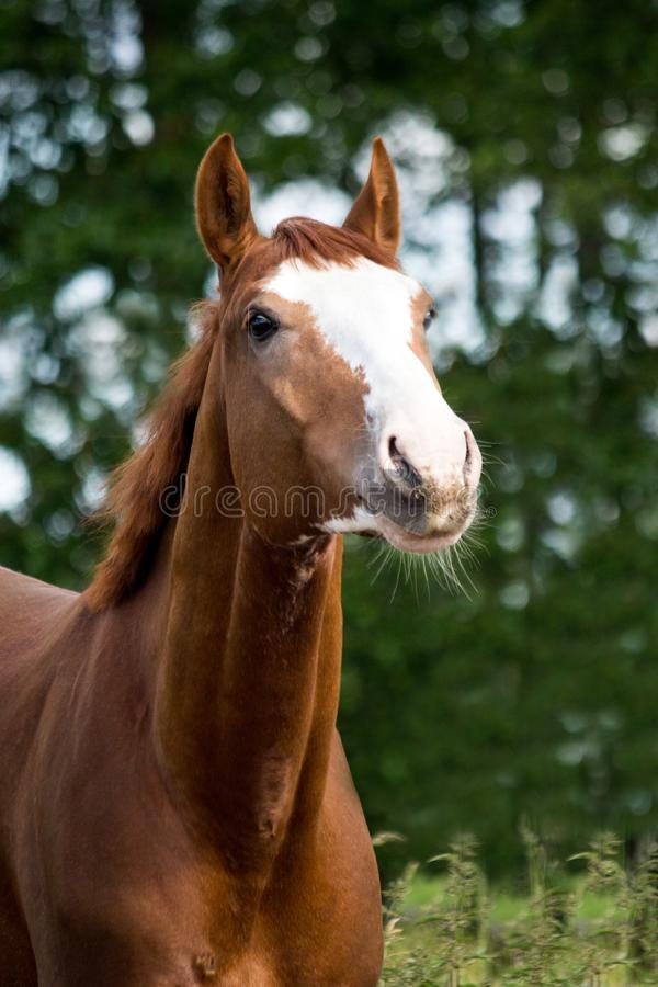 Portrait of funny chestnut horse smiling royalty free stock image