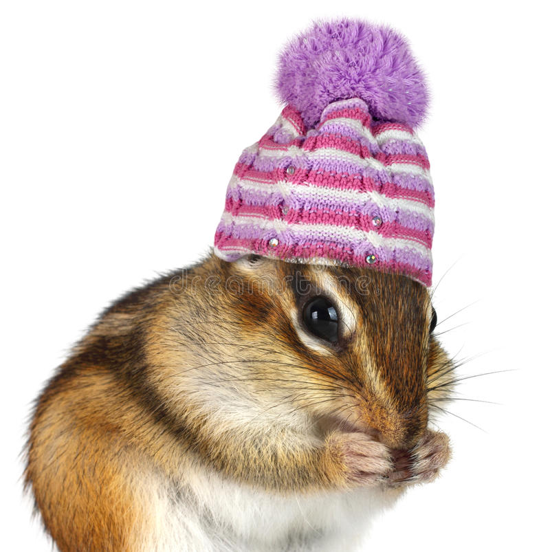 Portrait of funny chipmunk with hat on white royalty free stock images