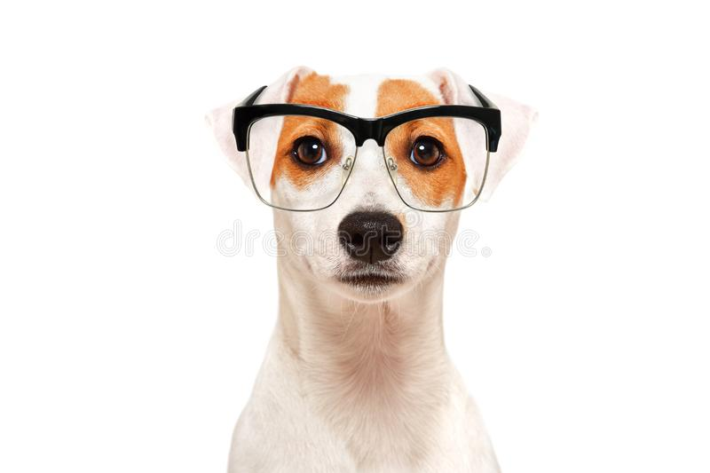 Portrait of funny dog Parson Russel Terrier wearing glasses stock photo