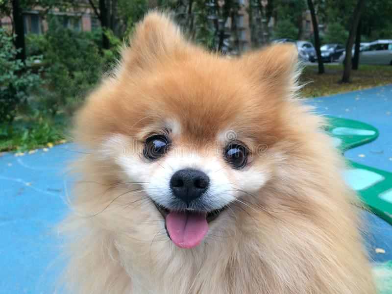 Portrait of a funny dog Pomeranian Spitz with fluffy red coat lying and sitting on a wooden bench. the pet waiting for the owner. Portrait of a funny dog stock photos