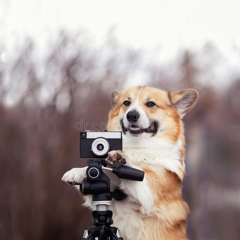 Free Portrait Funny Dog Puppy Corgi Stands In The Garden And Takes Pictures On An Old Photo Camera Royalty Free Stock Image - 215841116