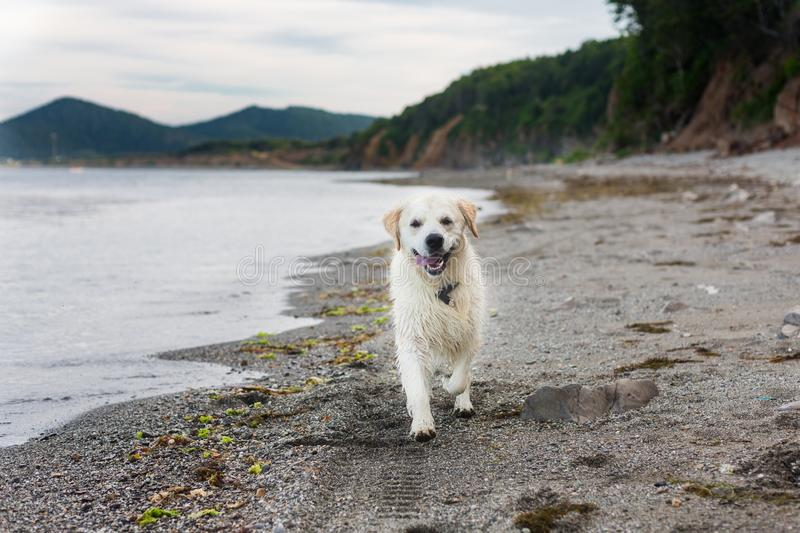 Portrait of funny and Excited golden retriever dog running on the beach royalty free stock photos