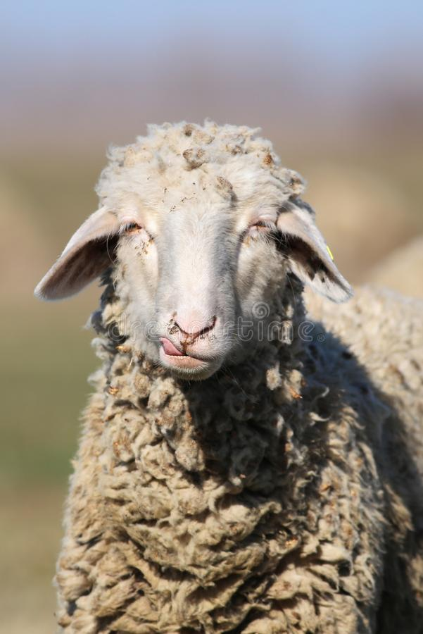 Portrait of funny face sheep. Portrait of white funny face sheep stock images