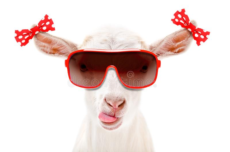 Portrait of a funny goat in a sunglasses with bows on the ears stock photography
