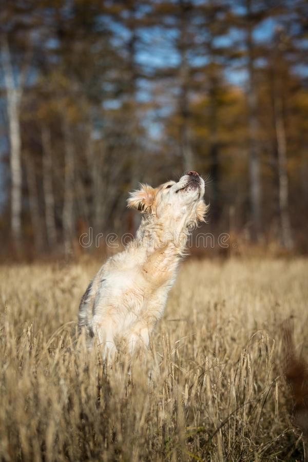 Portrait of funny and happy dog breed golden retriever jumping in the rye field and has fun in autumn. Season royalty free stock photo
