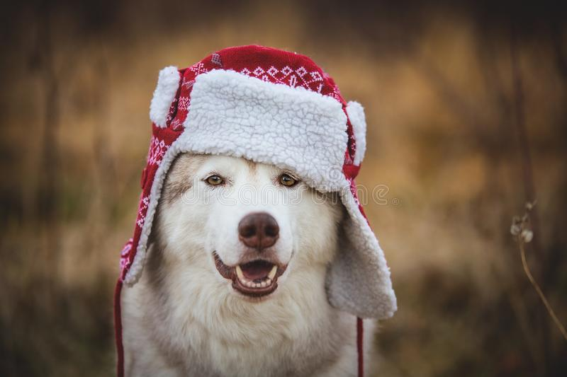 Portrait of Funny husky dog is in warm cap with ear flaps. Close-up portrait of happy dog breed siberian husky royalty free stock image