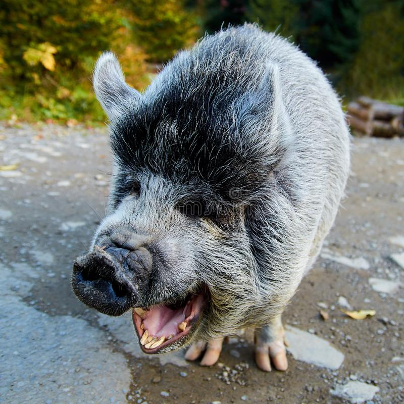Portrait of the funny laughing gray pig on the road royalty free stock images