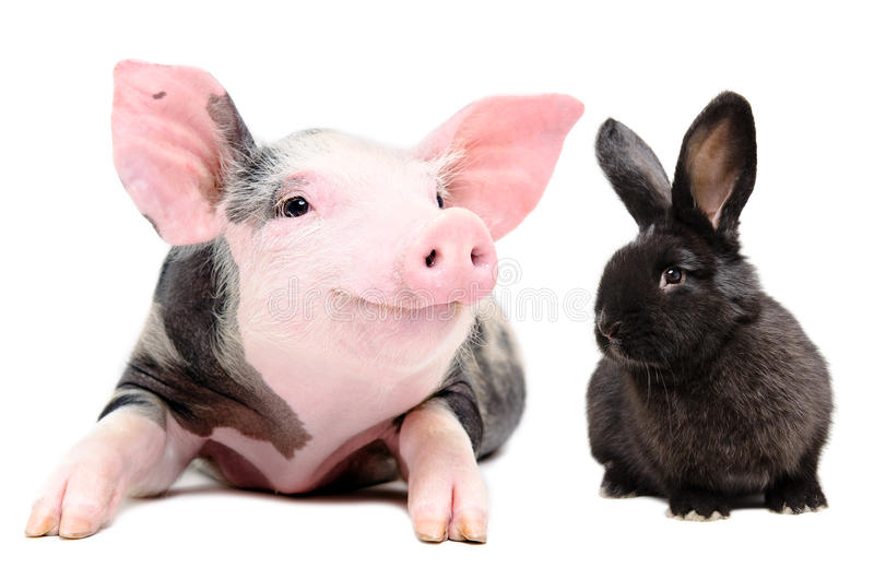 Portrait of a funny little pig and cute black rabbit stock photography