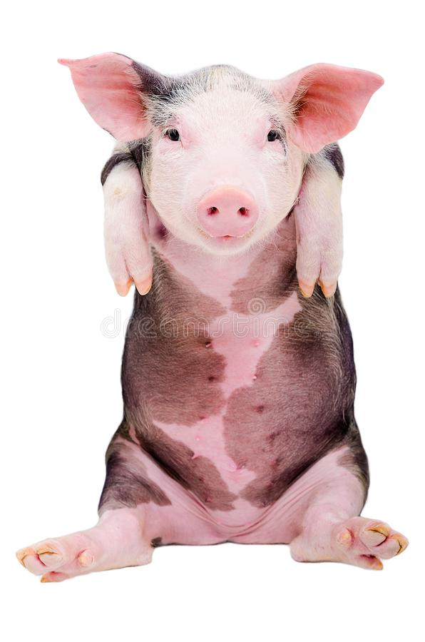 Portrait of a funny little pig stock image